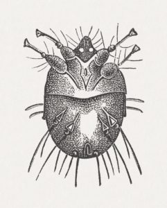 drawing of scabies itch mite